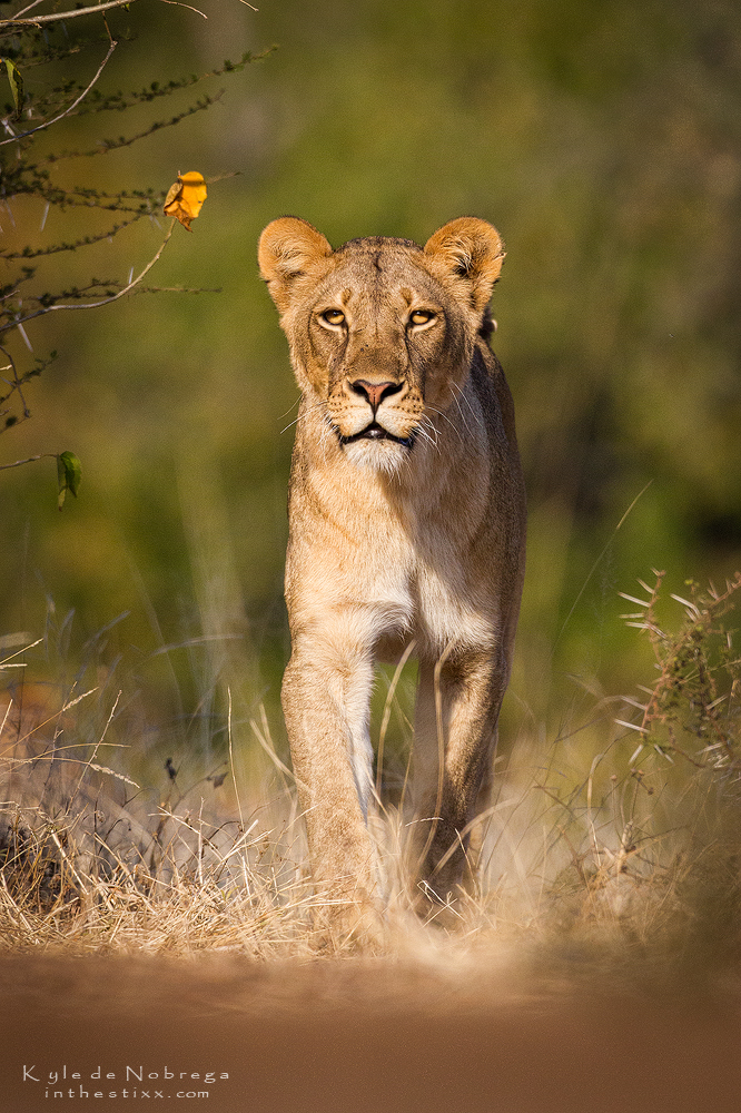 approaching lioness